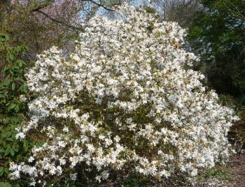 Magnolia stellata in full flower
