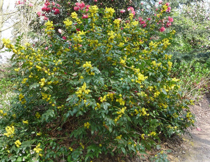 Expert Advice On Growing Mahonia In The Uk