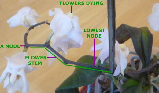 Flowers dying on an orchid