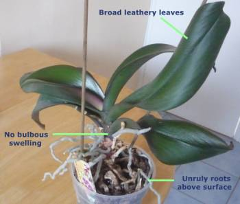 Identification features of a Phalaenopsis Orchid