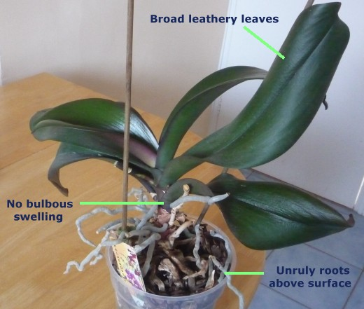 Expert Guide To Orchid Care For The Amateur