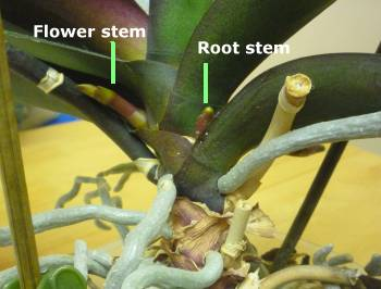Difference between a flower stem and a new root on a Phalaenopsis Orchid