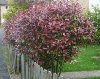 expert advice on growing red robin photinia in the uk. Black Bedroom Furniture Sets. Home Design Ideas