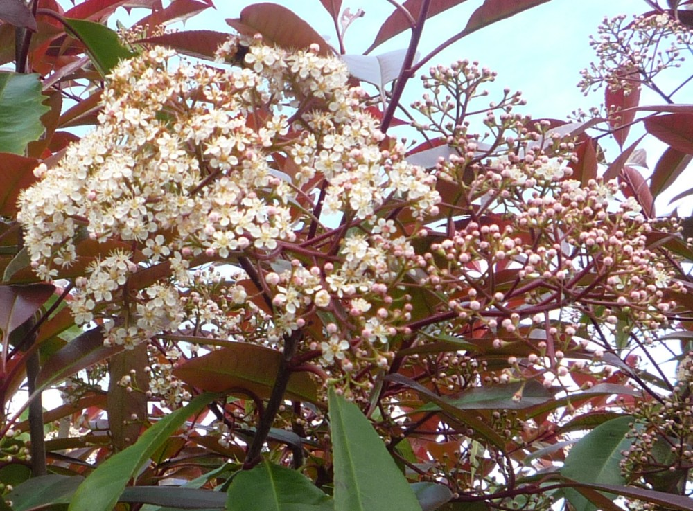 Expert Advice On Growing Red Robin Photinia In The Uk