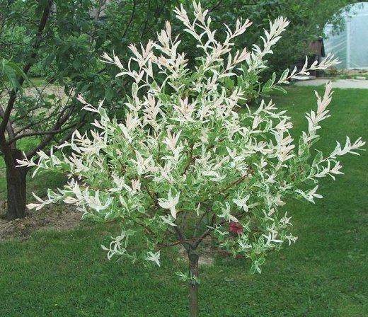 Expert Advice On Growing Salix Integra Hakuro Nishiki