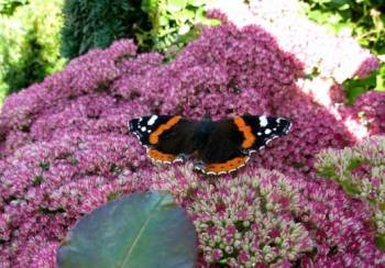 Sedum spectabile with butterfly