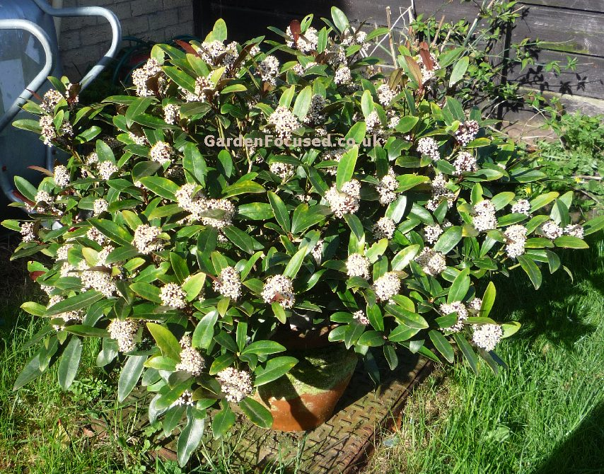 expert advice on growing skimmia in the uk. Black Bedroom Furniture Sets. Home Design Ideas
