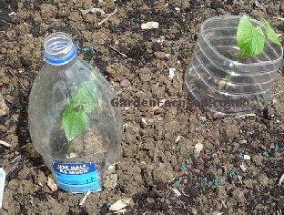 Large plastic bottle used as a protective cloche preventing slug and snail damage