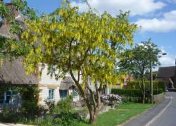 Traditional Laburnum tree