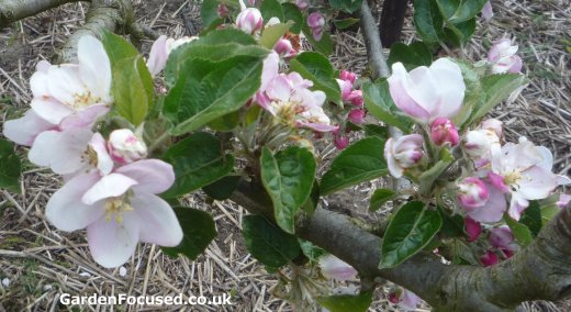 Blossom of Ashmeads Kernel