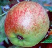 Apple from Falstaff apple tree