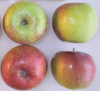 Lane's Prince Albert apples