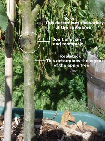 Picture showing an apple tree rootstock