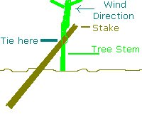 Stake supporting an apple tree