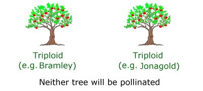 Triploid apple tree pollination example 3