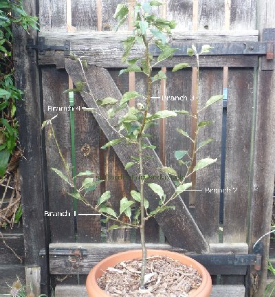 Two year old apple tree - example 3