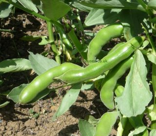 Broad bean pod ready for harvest