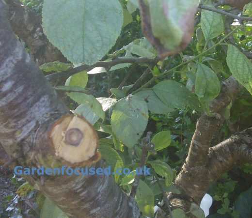 Identify And Treat Pest And Diseases Of Cherry Tree