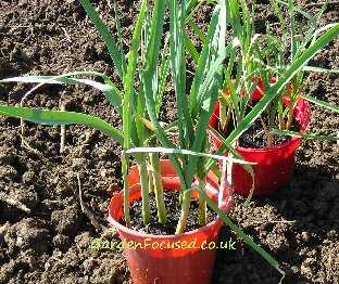 Pencil sized leeks ready for planting