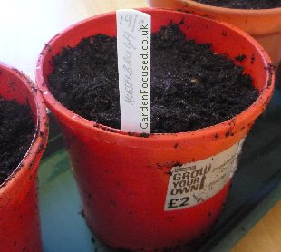 Leek seeds in pots