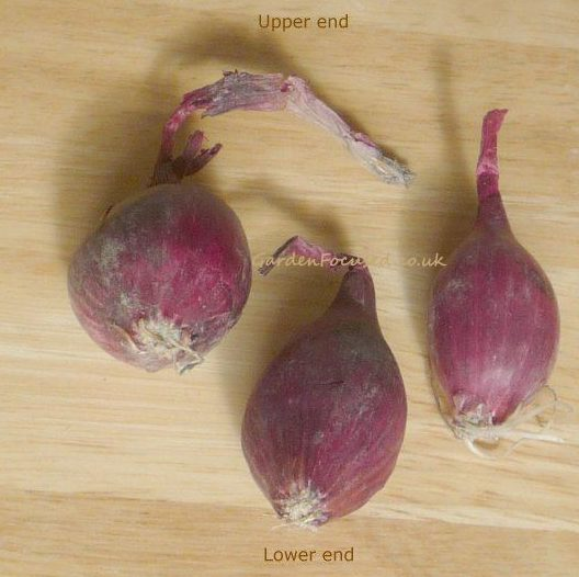 Correct end to plant onion sets
