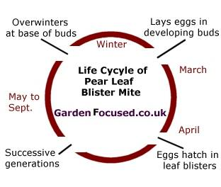 water blisters diagram prevent, identify and treat pear tree pests and diseases ... #14