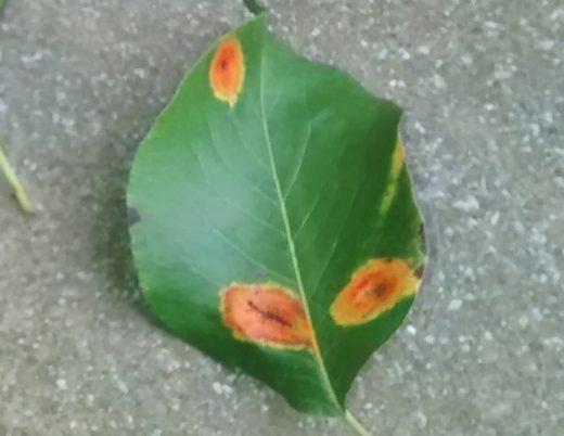 Bradford Pear Leaf Spot | Theleaf.co