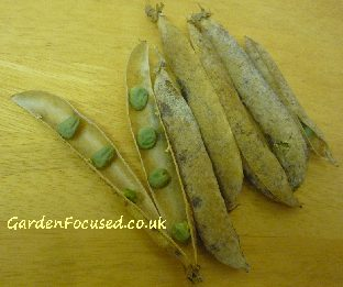 Dried pea seeds saved for next year