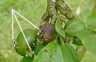 Pests and Disease of Plum Trees