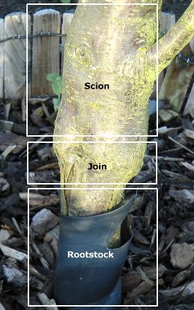 Picture showing position of a plum tree rootstock
