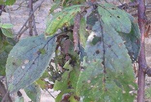 Shothole damage on a plum tree