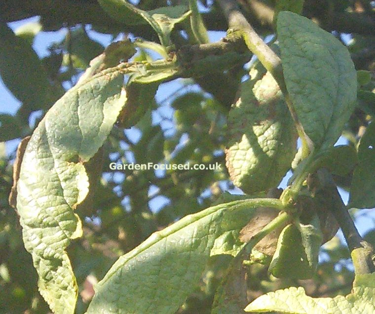 Plum Tree Leaf Diseases Pictures