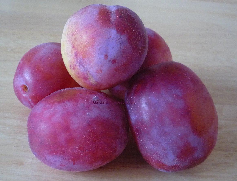 popular plum tree varieties in the uk