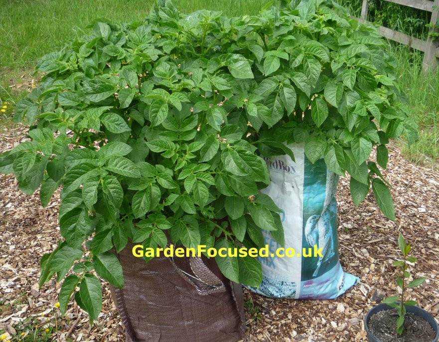 Potato Plants in Containers Case of Container Potatoes
