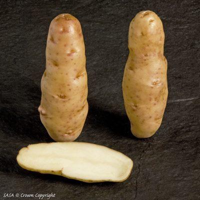 Buying Anya Seed Potatoes In The Uk