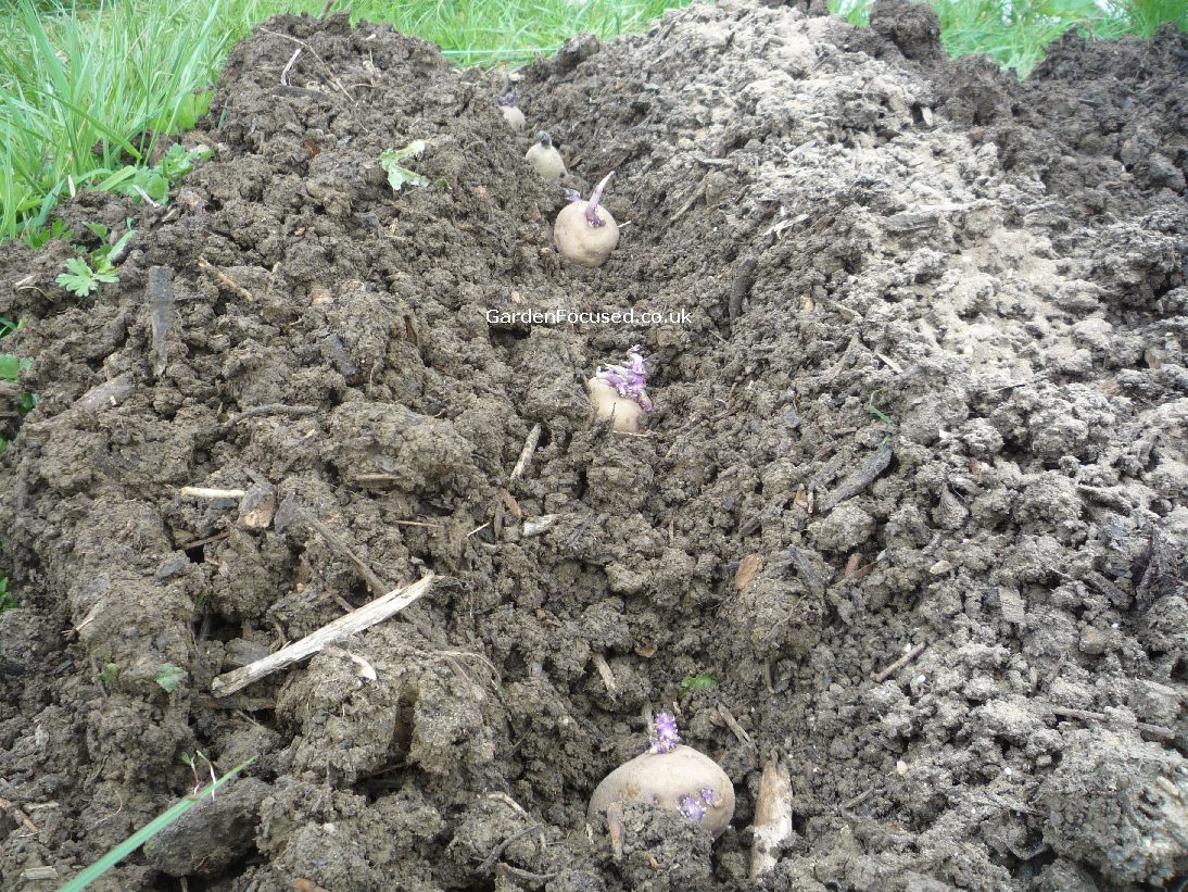 Planted Potatoes