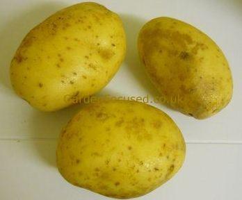 Three Maris piper potatoes & How to Harvest and Store potatoes - GardenFocused.co.uk