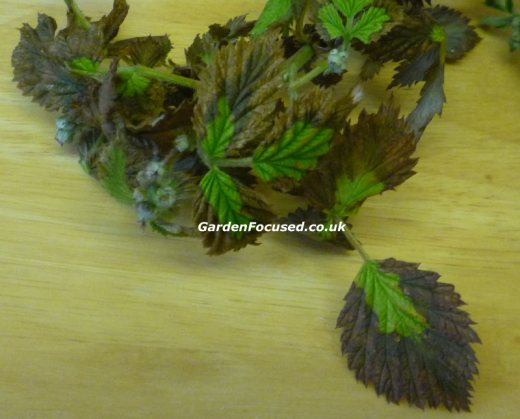 Leaves affected by Raspberry Root Rot