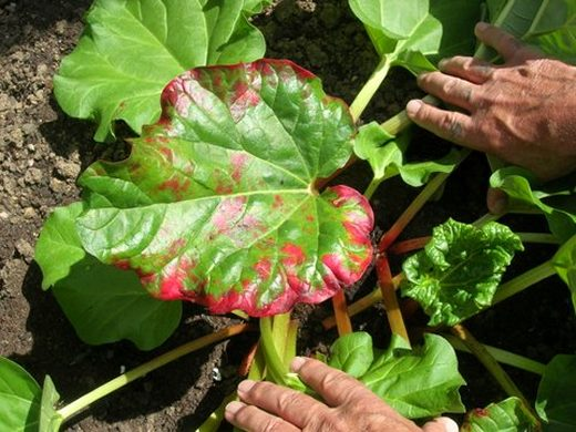 Red edges to rhubarb leaves