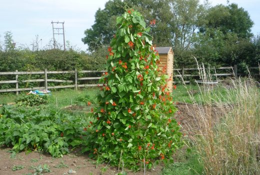 Pyramid of runner beans