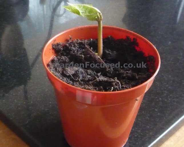 images How to Grow Clematis in Pots