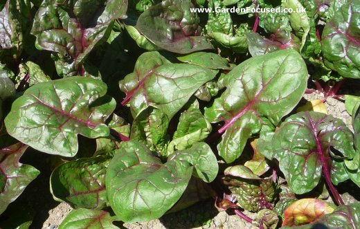 Spinach variety Red Veined