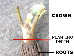 Showing the correct height to plant strawberry plants