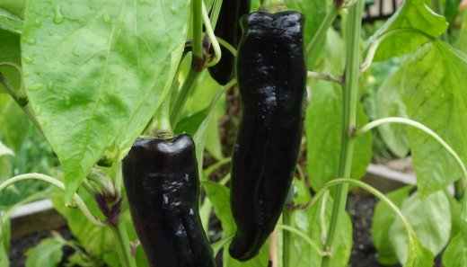 Sweet Pepper variety Black Knight