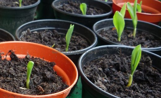 Sweetcorn seedlings