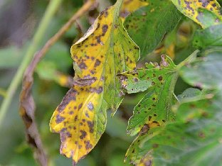leaves affected by Tomato blight