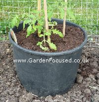 Tomato plant in bottomless container