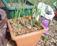Garlic growing in a container