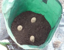 Seed potatoes planted in container which will be earthed up later