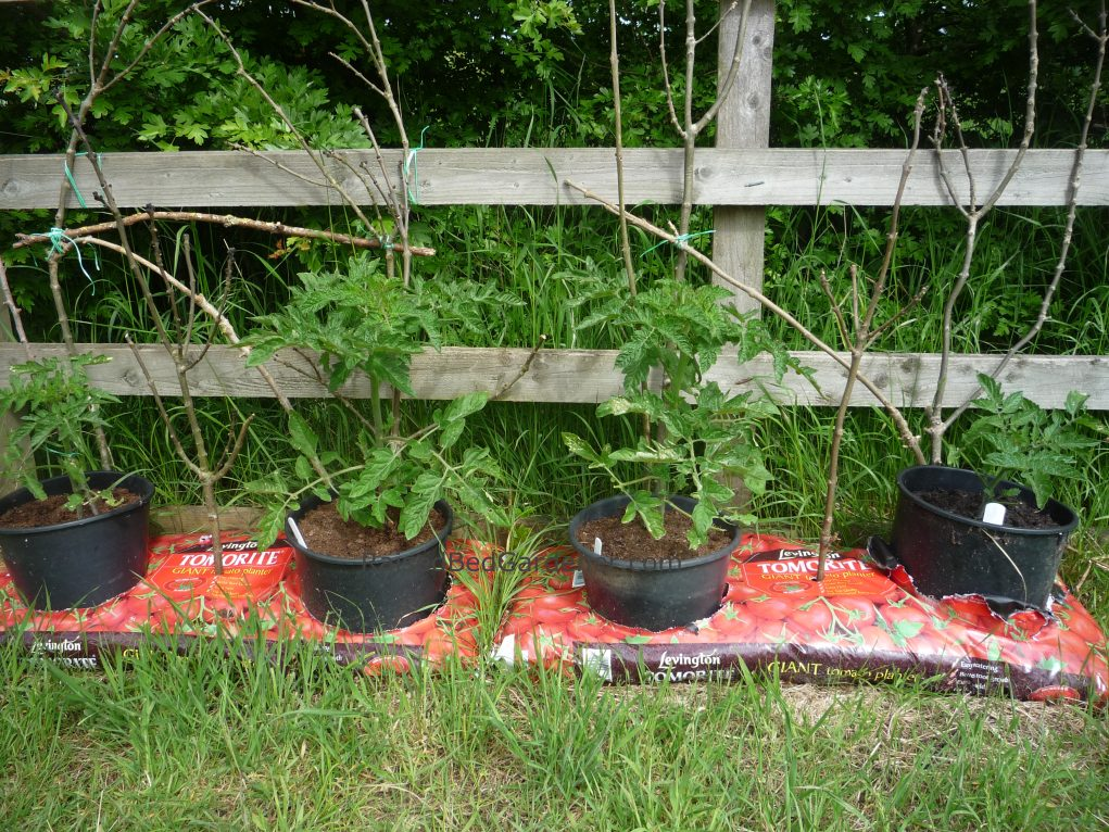 How to grow tomatoes in containers and growing bags - How to grow potted tomatoes ...